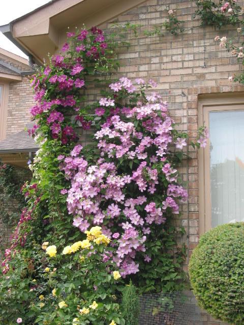 Клематисы - изумительной красоты лиана.  Это многолетник, с изящными листьями и цветками самых разнообразных форм и...