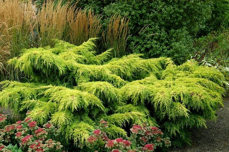 Озеленении пользуются стелющиеся